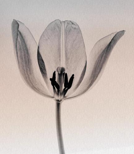 Lucid Tulip 22 Elzbieta Piskorz  Pictorial Gold