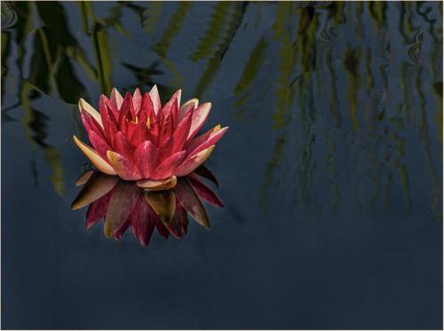 Red Water Lily 19.5 Elzbieta Piskorz  Pictorial Gold