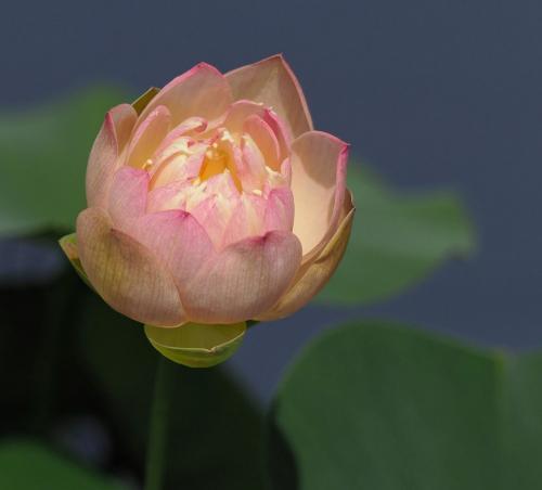 Lotus Flower 22.5 Colleen Bird  Pictorial Gold