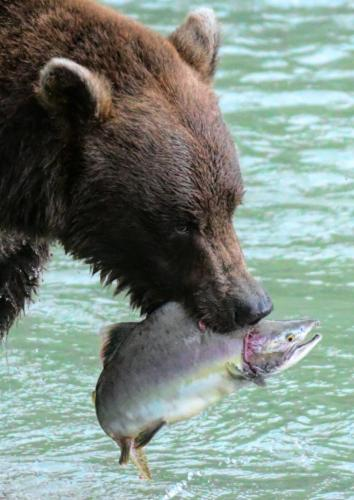 Grizzley Bear With Salmon 22.5 Peter Bartens  Nature Master