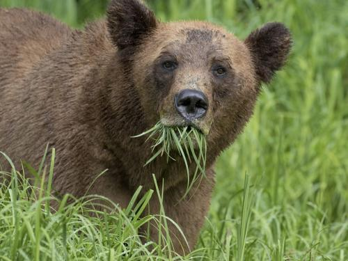 Grizzly Eating Sedge Grass by David Seldon - Nature
