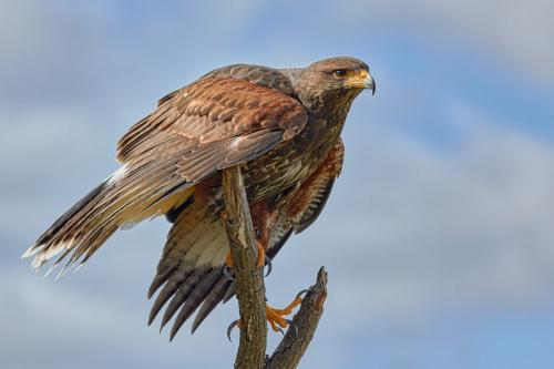 Harris Hawk by Victor Turczynski  - Nature