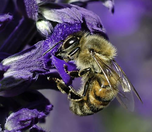 Honeybee On Salvia 18.5 Jim Maguire  Nature Gold