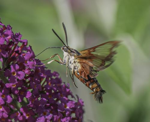 Hummingbird Moth  18.5 Judy Boufford  Nature Gold