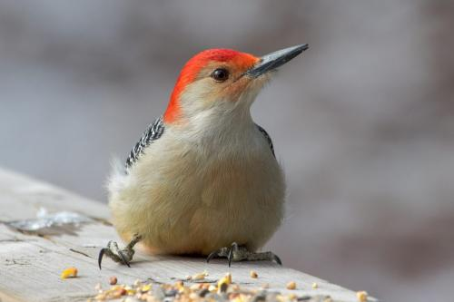 Red-Bellied Woodpecker 23 SPP Geoffrey Skirrow  Pictorial Silver
