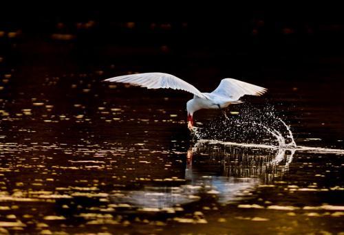 Capstan Tern  19 Dan Copeland  Nature Master