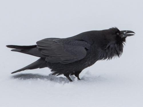 Raven 24.5 HM SPP Geoffrey Skirrow  Nature Silver