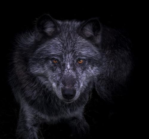 In The Eyes Of A Wolf 23.5 GPP Bertin Francoeur  Pictorial Gold