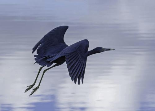 Little Blue Heron 21 Jim Maguire  Nature Gold