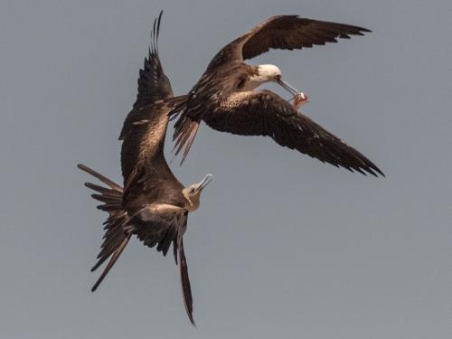 Magnificent Frigatebirds 21 Dan Copeland  Nature Master