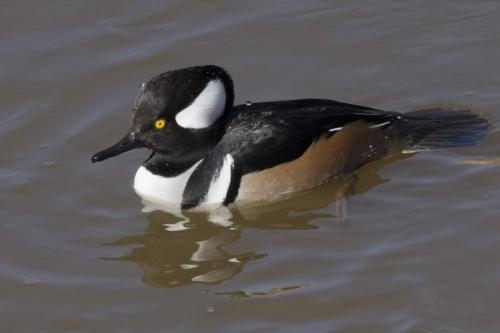 Male Hooded Merganser 20.5 Peter Chow  Nature Silver