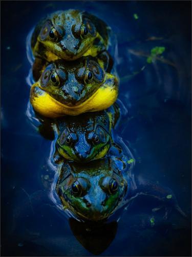 Mating Green Frogs 23.5 GPP Bela Acs  Nature Gold