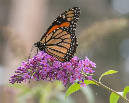 Monarch Butterfly #4 22 Terry Ross-Poulton  Nature Gold