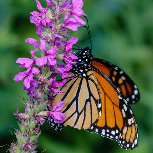 Monarch Butterfly 21.5 Jim Thomson  Nature Gold