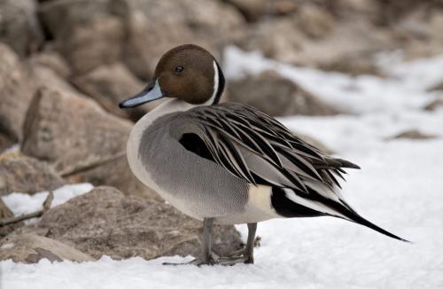 Northern Pintail Duck 24 GPP Pat Wintemute  Nature Gold
