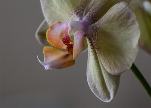 Orchid 18.5 Janet McNally  Pictorial Silver