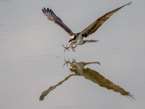 Osprey Strike by Brian Floyd - Nature