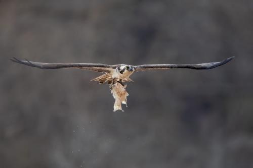 Osprey With Catch 24.5 HM GPP Brian Floyd  Nature Gold