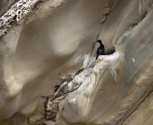 Pelagic Cormorant On Cliff 19.5 David Evans  Nature Gold