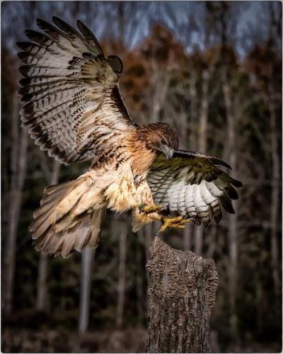 Red Tailed Hawk Landing 22 Jim Sykes  Pictorial Gold