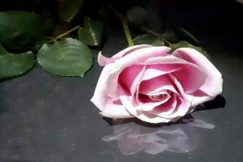 Rose Reflection  Pictorial Silver