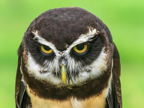 Spectacled Owl 23 Don Poulton  Nature Master