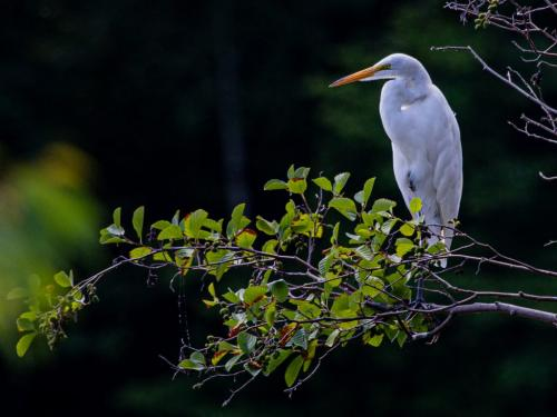 White Egret 20 Ted Buck  Nature Silver