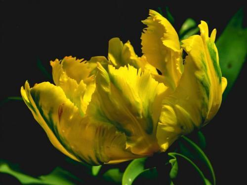 Tulipa 18 Judy Moniz  Pictorial Bronze