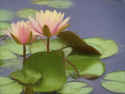 Waterlilies 21.5 Leonie Holmes  Creative Gold
