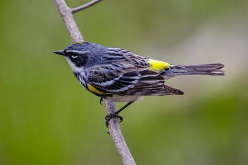 Yellow-Rumped Warbler 22.5 Jim Thomson  Nature Gold