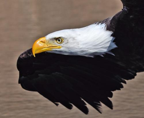 Bald Eagle 22.5 BPP Carey Hope  Nature Bronze