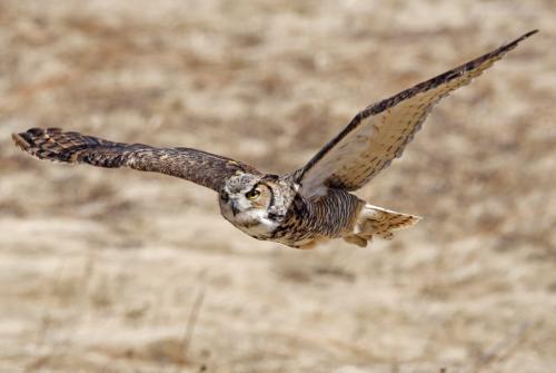 Great Horned Owl 2 23 HM BPP Carey Hope  Nature Bronze