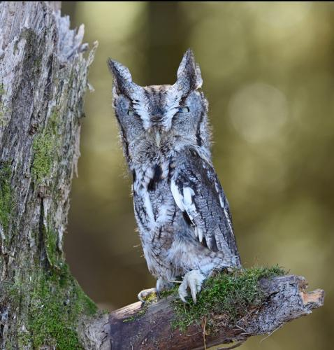 Screech Owl 21.5 BPP Carey Hope  Nature Bronze
