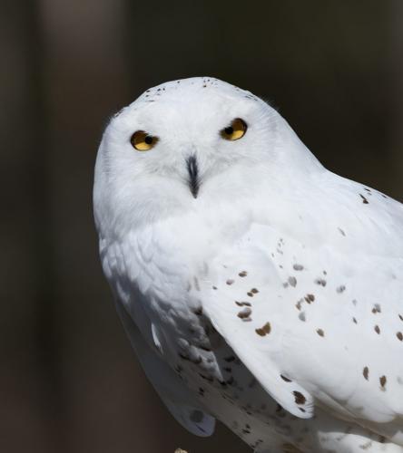 Snowy Owl 22 BPP Carey Hope  Nature Bronze