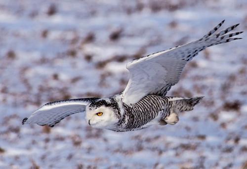 Snowy Owl 24 DP Dan Copeland  Nature Master