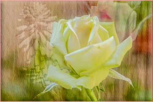 Yellow Rose  21.5  Creative  Gold  Bert  Pierre