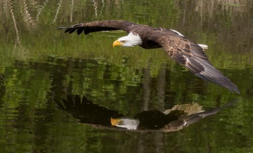 Bald Eagle on the Hunt  24.5  Nature  Master  Don  Poulton