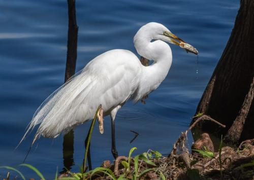 Great Egret with Lunch  22  Nature  Master  Don  Poulton