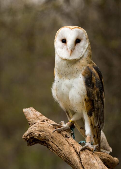 Owl  21  Pictorial  Silver  Claudia  Povilauskas