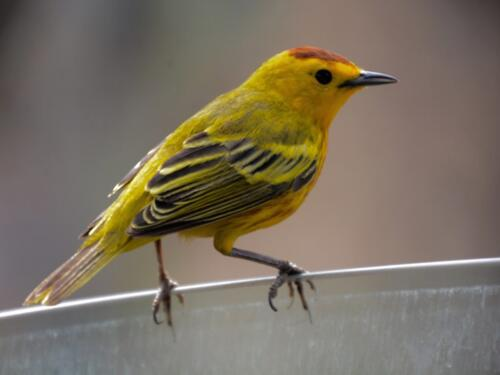 yellow finch  16.5  Pictorial  Silver    Bird fills the frame nicely and a good story. However, most of the subject matter is blurred.Palm WarblerGood attempt, but the image lacks sharpness.