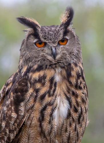 Eurasian Eagle Owl  22  Nature  Gold  Terry  Ross-Poulton