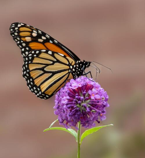 Monarch Butterfly #7  22  Pictorial  Gold  Terry  Ross-Poulton