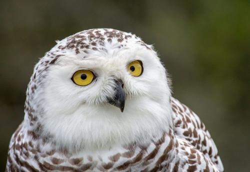 Snowy Owl  23  Nature  Gold  Terry  Ross-Poulton