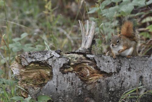 Red Squirrel  20.5  Pictorial  Gold  Greg  Alderson