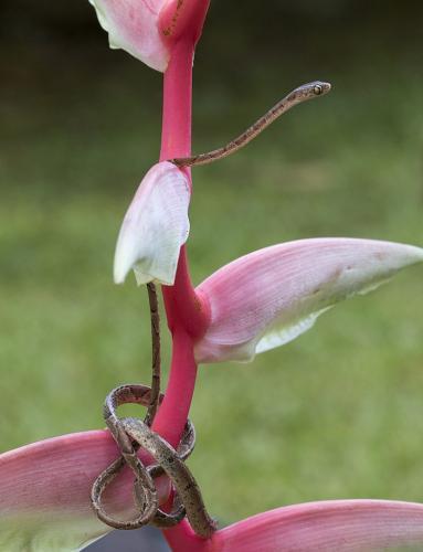 Blunthead Tree Snake  23  Nature  Master  David  Seldon