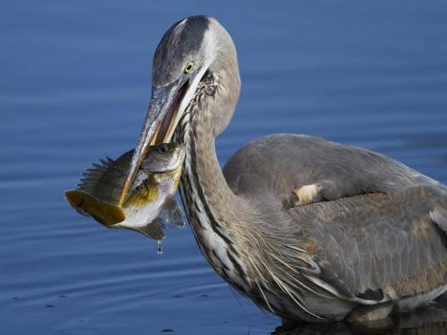 Great Blue Heron with fish  25.5  Nature  Master  David  Seldon