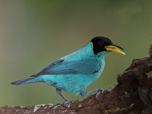 Green Honeycreeper  24  Nature  Master  David  Seldon  Crop the out of focus bits on the right