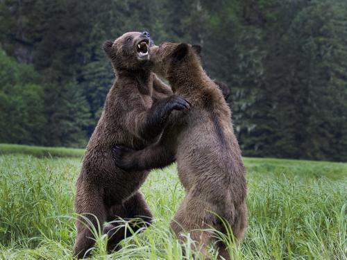 Grizzlies wrestling #4  25  Nature  Master  David  Seldon