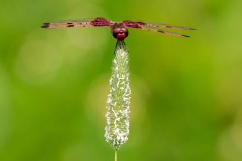 Red Saddlebags Dragonfly  22.5  Nature  Silver  Geoffrey  Skirrow