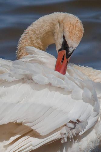 Mute Swan Preening  22.5  Nature  Silver  Geoffrey  Skirrow